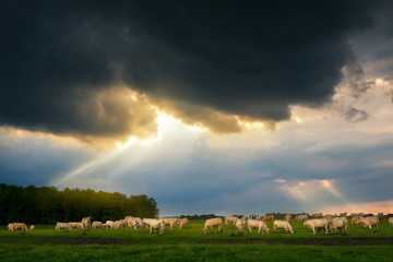 Wall Mural - Cattles in the stormy pasture