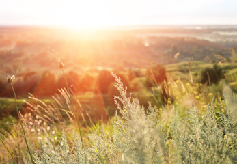 Growing wild grass wormwood in the summer dawn