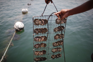 A worker immerses oysters in the water, after clearing them at RAK's oyster farm off the coast of Ras Al Khaimah, one of the seven emirates that make up the United Arab Emirates