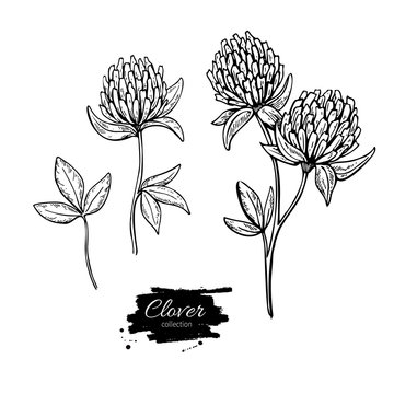 Clover flower vector drawing set. Isolated wild plant and leaves. Herbal engraved style illustration.