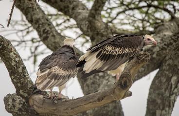 White Headed Vulture in Tree, Serengeti