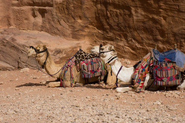 Several camels seated in the sand at the Treasury, Al Khazneh, Petra, Jordan. The Bedouin camels are used to transport tourists and are outfitted with saddles and colorful blankets.