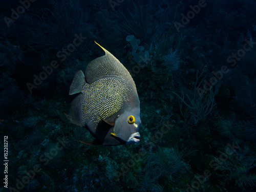 Curious French angelfish highlighted against dark reef