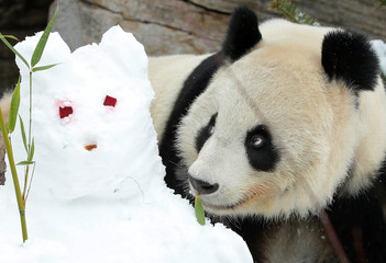 Giant Panda Yang Yang sniffs at a snowman in her enclosure at Schoenbrunn zoo in Vienna
