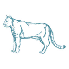 hand drawn cougar or mountain lion. animal blue sketch wildlife vector illustration