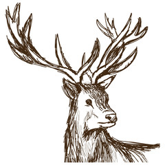 hand drawn deer big antlers, wildlife poster. face graphic sketch vector illustration