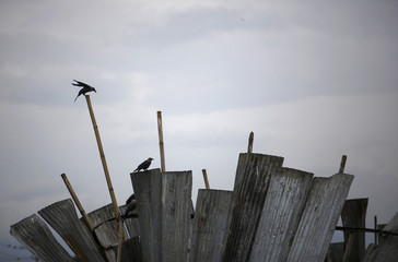 Birds perch on sits on bamboo poles and zinc sheets in search of food surrounding a dumping site along the banks of Bishnumati River in Kathmandu