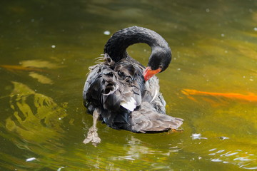 Black swans in the pond