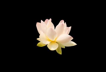 full bloom lotus on black
