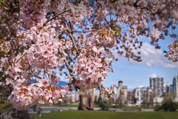 Vancouver Cherry Blossoms. Cherry blossoms in Vancouver with the skyline in the background.