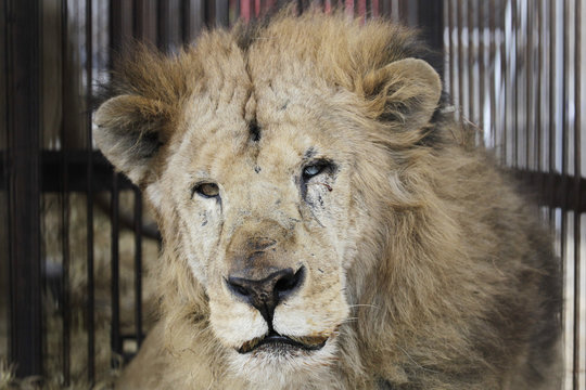 """Rescued lion """"Leo"""" is seen in its cage while it is quarantined at a temporary custody centre in Lima"""