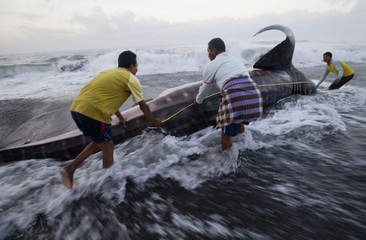 Environmental activists measure a dead whale shark after it was stranded on the Pandansimo beach in Bantul