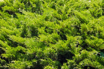Natural background of the green juniper bushes