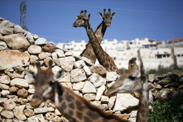 Giraffes stand in their enclosure at Jerusalem's Biblical Zoo