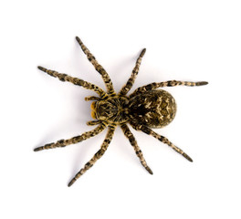 Photo of Lycosa singoriensis, black hair tarantula isolated on white background
