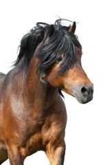 Bay stallion portrait with long mane isolated on white background