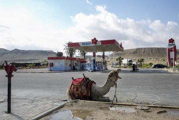 A camel rests at a fuel station in the Judean desert near the West Bank city of Jericho