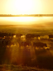 Herd of cows on the sunset in the fog