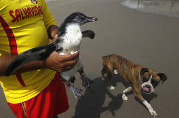 A lifeguard holds Tomas, a lost Humboldt penguin, before he is transferred by boat to a penguin colony on San Lorenzo Island