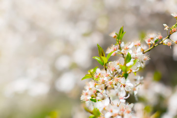 White blossom and leaves