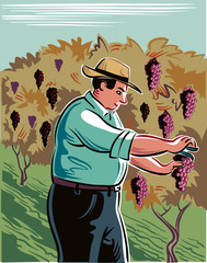 Man, in an attempt to seize the vineyard ripe grapes during the harvest