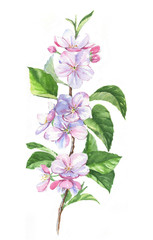 Hand-drawn watercolor drawing with apple blossom branch on the white background. Spring flowers