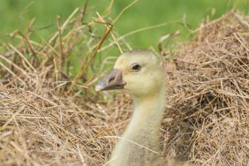 white goose; gosling; Anser anser domesticus