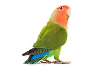 portrait lovebird