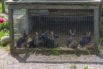 Rabbits in cage. Mammal animal in the farm.