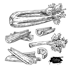Celery hand drawn vector illustration set. Isolated Vegetable engraved style object. Detailed vegetarian food