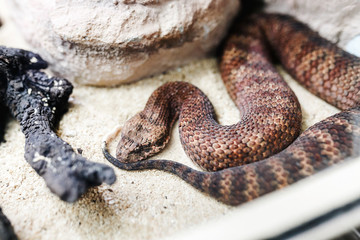 Danger Australian common death adder or acanthophis antarcticus