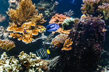 Coral fishes of sea in aquarium