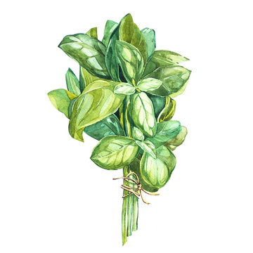 Botanical drawing of a basil leaver. Watercolor beautiful illustration of culinary herbs used for cooking and garnish. Isolated on white background.