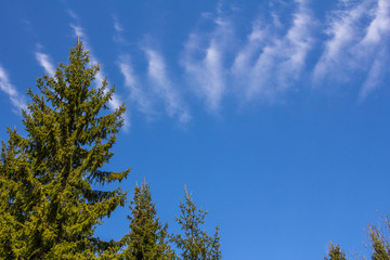 Spruce tree with cloud stretched across top of frame.