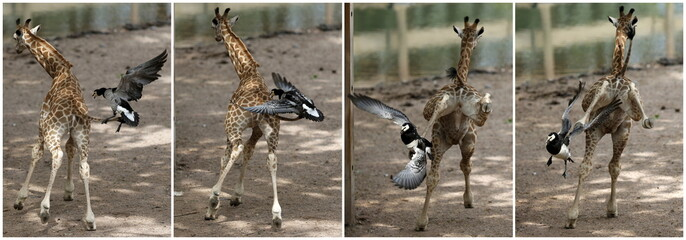 A combination photo shows a newborn giraffe being attacked by a goose at Pairi Daiza wildlife park in Brugelette