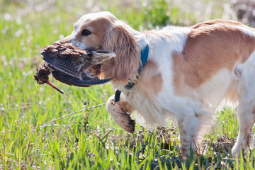 hunting dog holding a woodcock