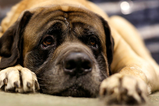Bones, a Mastiff, attends the 141st Westminster Kennel Club Dog Show in New York