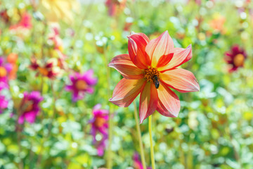 Bright floral background with place for text. One tender flower of a zinnia on a blurred green background with solar blocks.