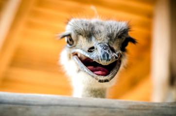 The open ostrich beak is in focus.