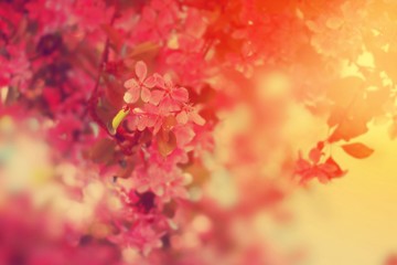 Pink flowers blooming on the tree. Floral nature background.