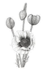 Drawing of a Poppy (Papaver) over white background