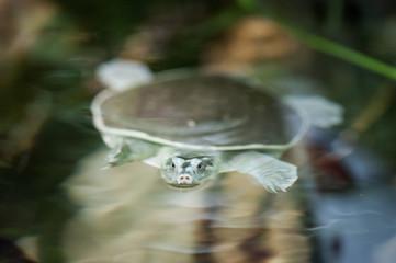 Wasserschildkröte taucht auf