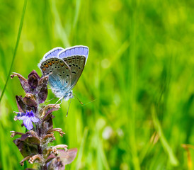 little blue butterfly (Polyommatus Icarus) on a flower on green natural blurry background