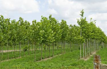 Maple tree farm