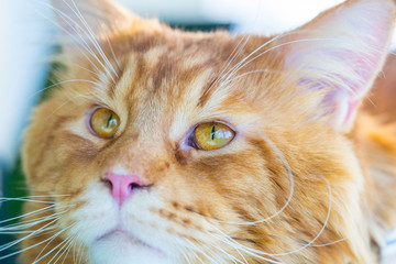Beautiful Maine Coon Cat Face with Beautiful Big Eyes, Horizontal Close Up View
