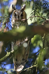A long-eared owl sits on a branch of a pine tree at an equestrian center in Cagnoncles near Cambrai, northern France