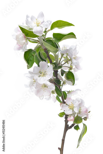 Apple blossoms blooming apple tree branch with large white flowers blooming apple tree branch with large white flowers isolated on white background mightylinksfo