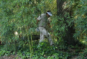 Mickelson of the U.S. looks for his ball in the bamboo trees on the fourth hole during final round play in the 2012 Masters Golf Tournament in Augusta