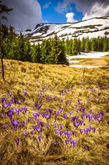 Spring mountains panorama with crocus flowers and snowy peaks of Ukrainian Carpathians.