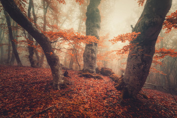 Wall Murals Forest Foggy forest. Fall woods. Mystical autumn forest with trail in yellow fog. Old tree. Beautiful landscape with trees, path, colorful orange and red foliage, fog. Nature background. Foggy forest